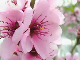 florciruelorosa